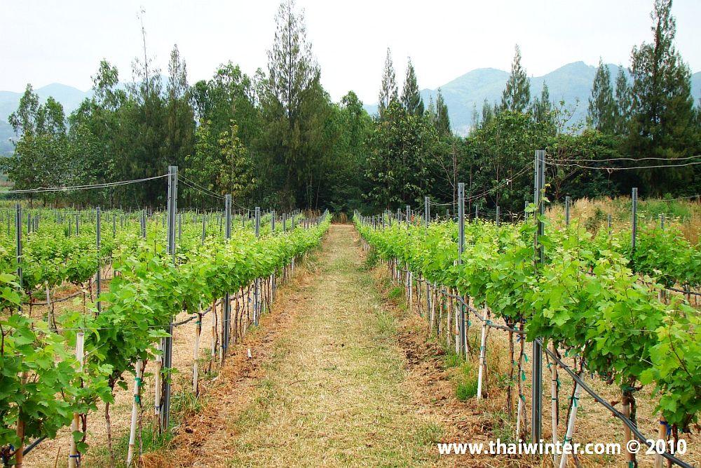 Виноградные заросли