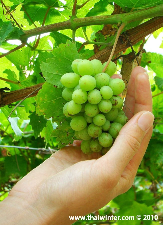 Виноград нашелся