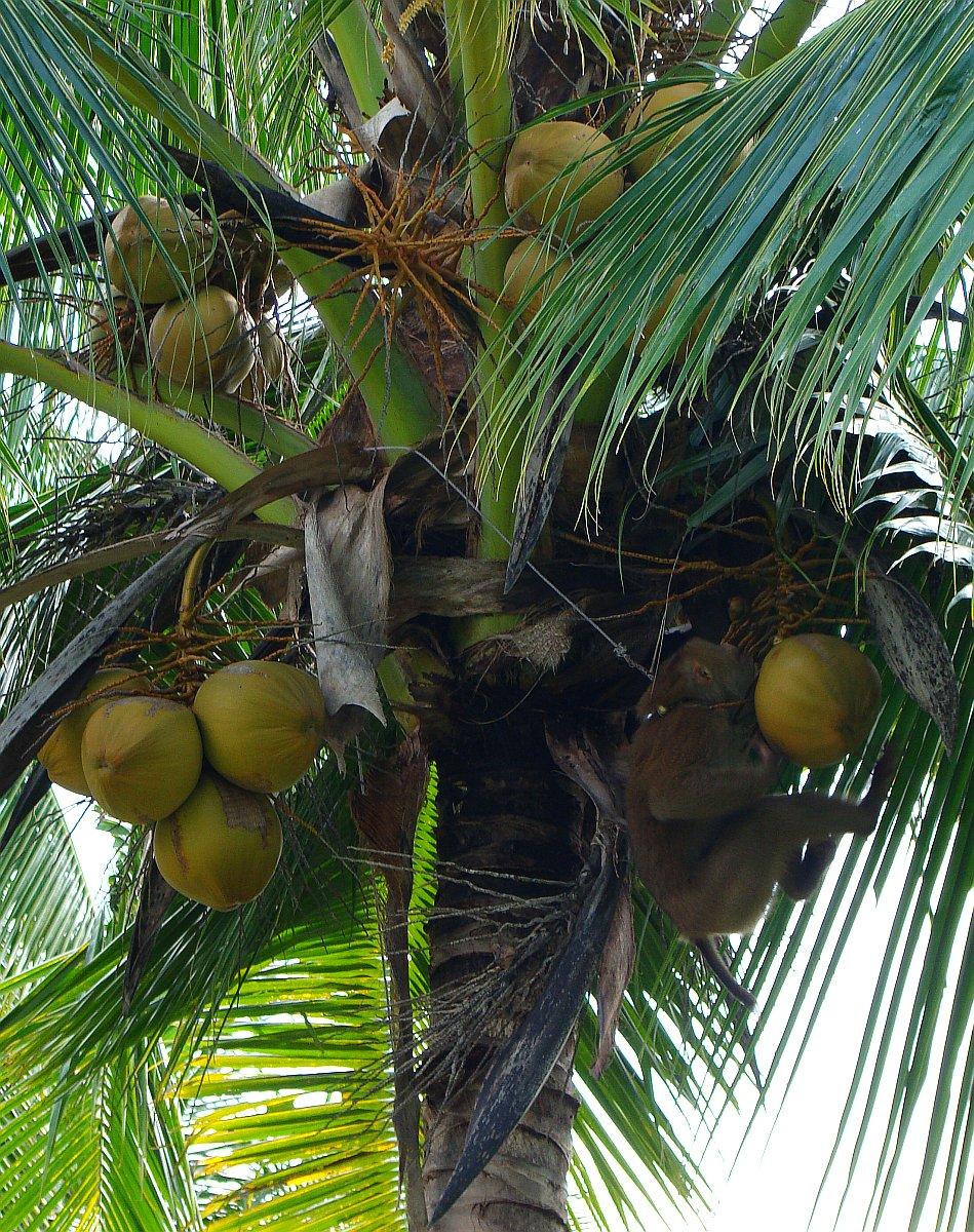 Обезьяна на кокосе