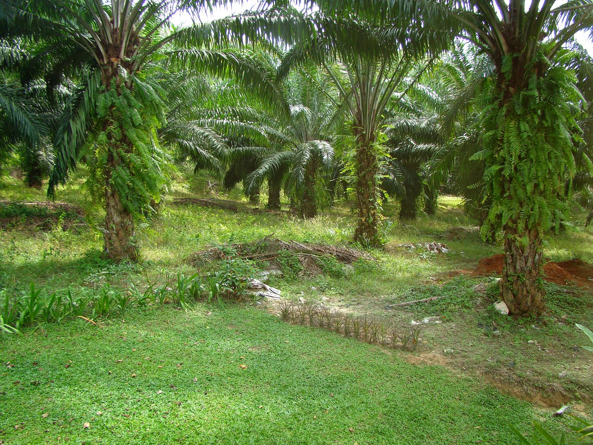 Территория дома - пальмовая роща