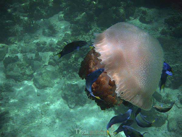 Медуза на мелководье | Осторожно, медузы | Зима в Тае