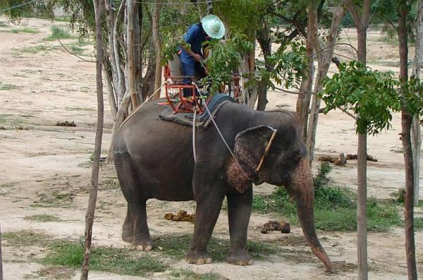 Погонщики слонов | Катание на слонах в Хуа Хине