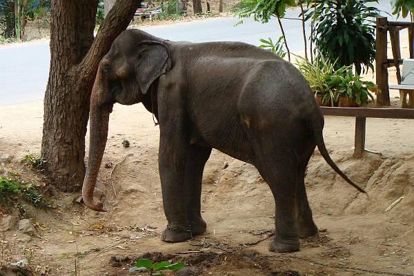 Худой слоник | Катание на слонах в Хуа Хине