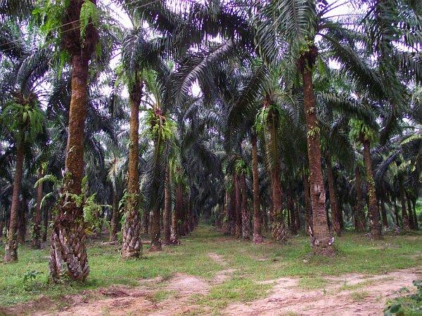 Роща масличных пальм | Зима в Таиланде