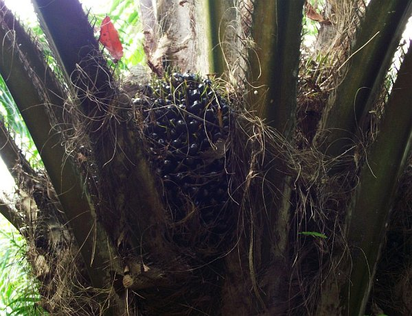 Не зрелые плоды масличной пальмы | Зима в Таиланде