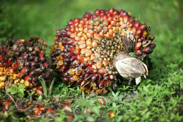 Свежесрубленная гроздь масличной пальмы
