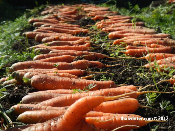 Морковка для сыроедов со своего огорода