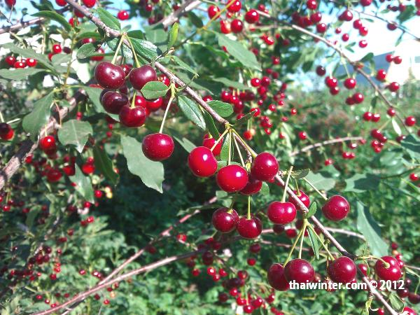 Плодово-ягодные сады в Красноярске