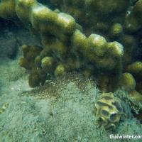 Сноркелинг на Ко Чанге - живые кораллы