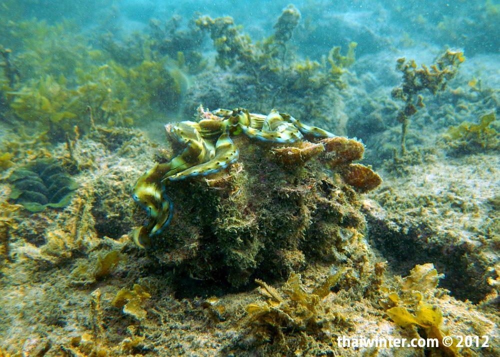 Живая Tridacna squamosa в своей раковине под водой