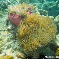 Морские анемоны или актинии