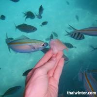 Кормление рыбок хлебом