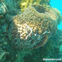 Кораллы-губки Xestospongia testudinaria