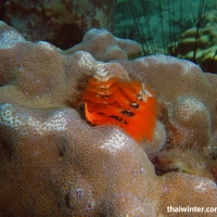 Трубчатый многощетинковый морской червь Spirobranchus giganteus