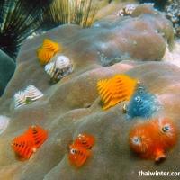 Трубчатые морские черви Spirobranchus giganteus на коралле