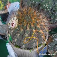 Kaktusy_08