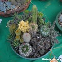 Kaktusy_11