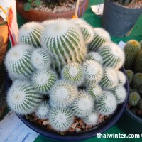 Kaktusy_15