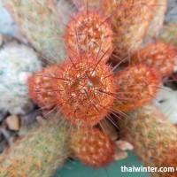 Kaktusy_16