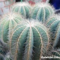 Kaktusy_18