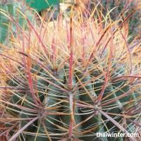 Kaktusy_19