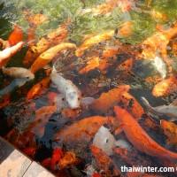 Fish_Feeding_11