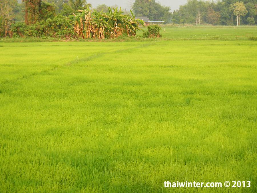 Рисовые поля в Чианг Мае