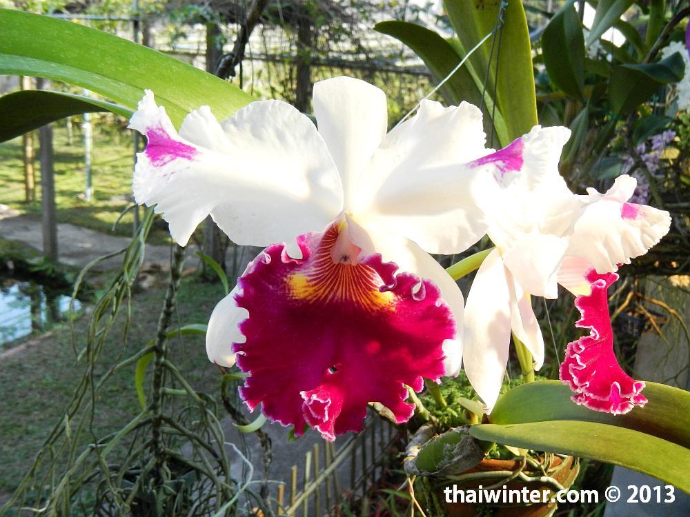 Cattleya - Королева Орхидей