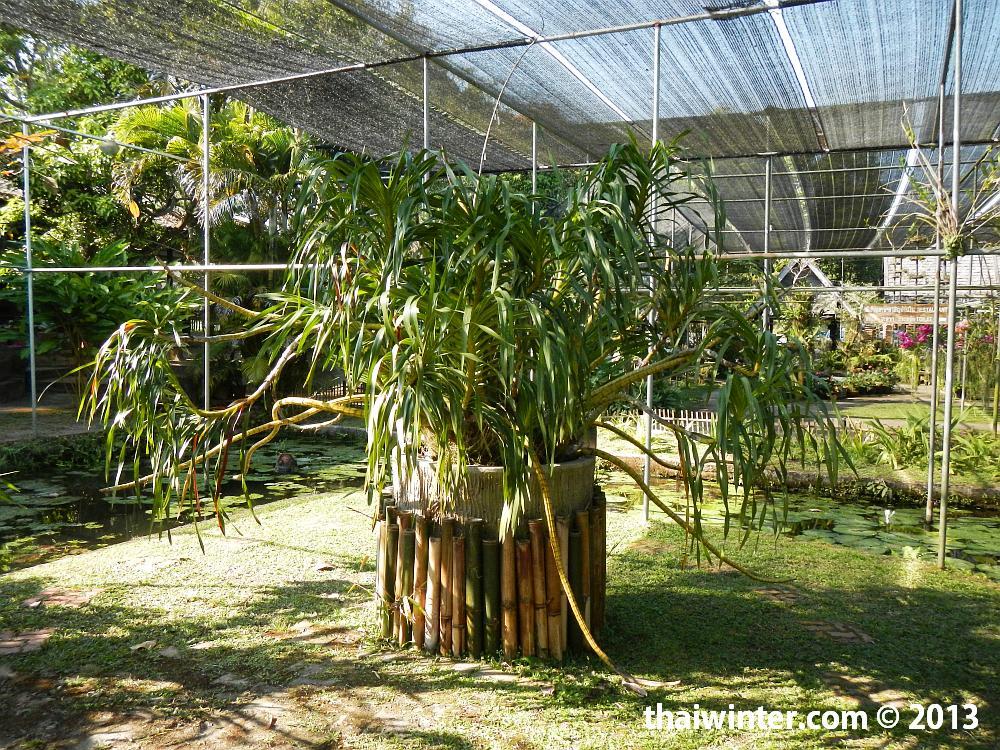 Grammatophyllum Speciosum Biume