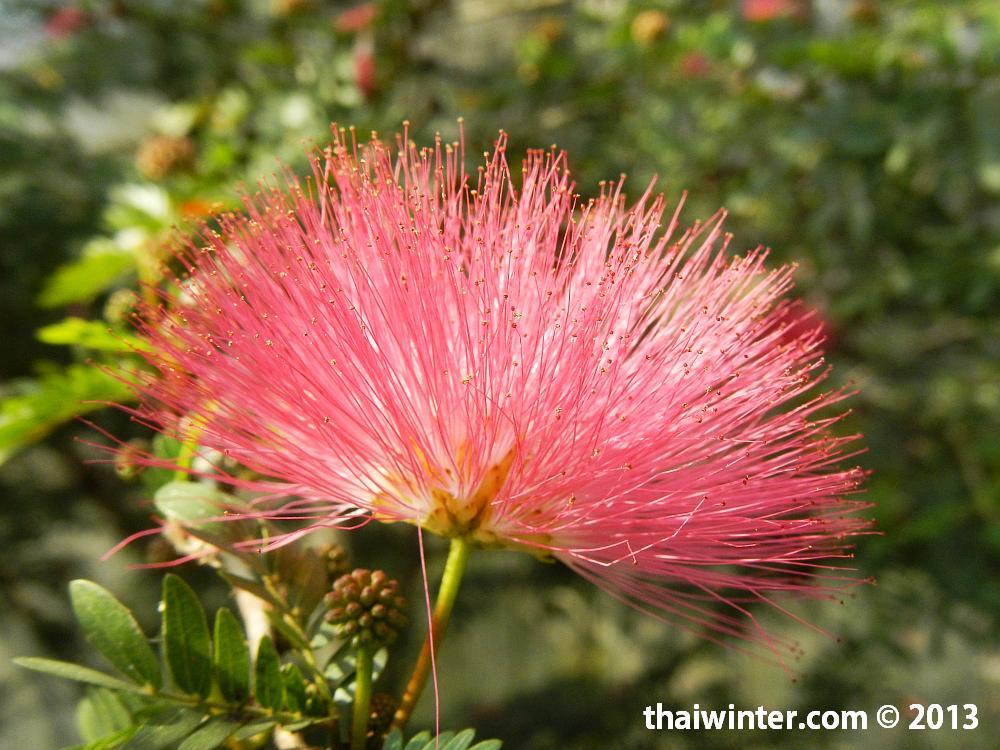 Кустарник с пушистыми цветами