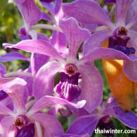 Thailand_Orchids_01