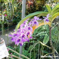 Thailand_Orchids_02