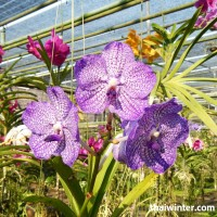 Thailand_Orchids_03