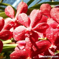 Thailand_Orchids_04