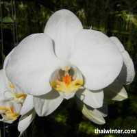 Thailand_Orchids_05