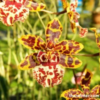 Thailand_Orchids_06