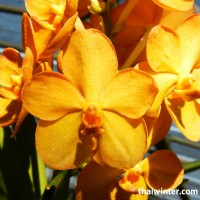 Thailand_Orchids_10