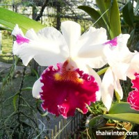 Thailand_Orchids_19