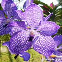 Thailand_Orchids_24