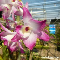 Thailand_Orchids_26
