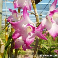 Thailand_Orchids_27