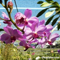 Thailand_Orchids_30