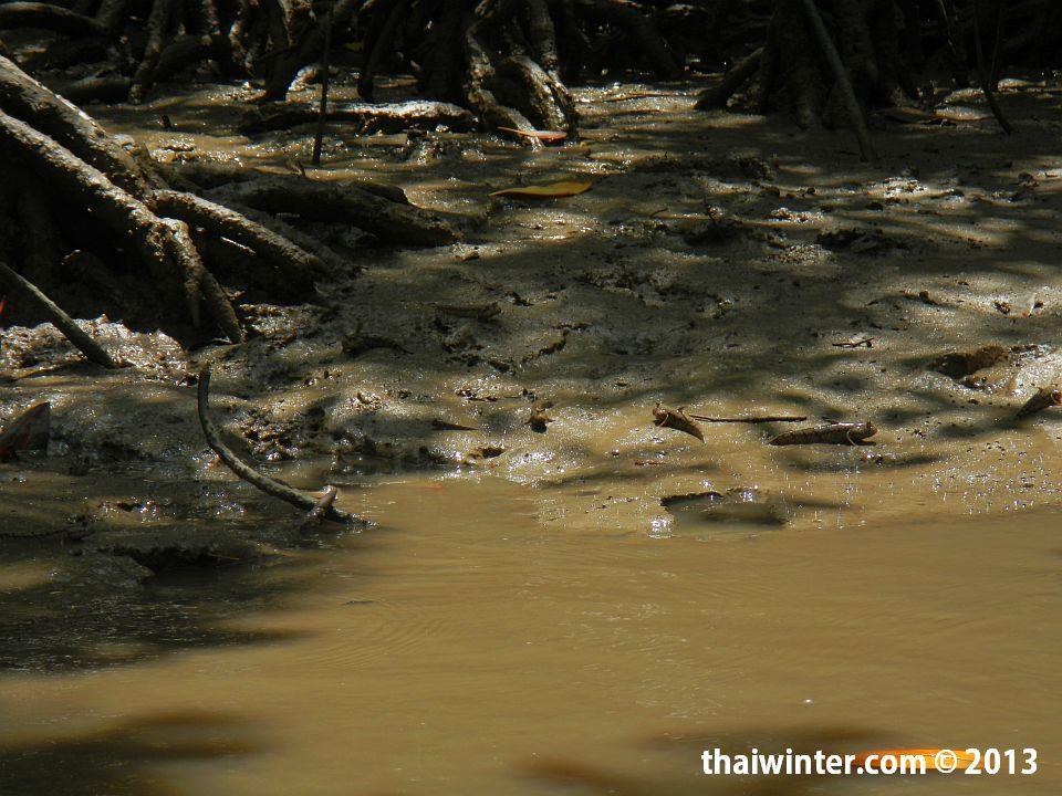 Илистый прыгун в мангровых зарослях