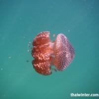 SmallJellyFish_1