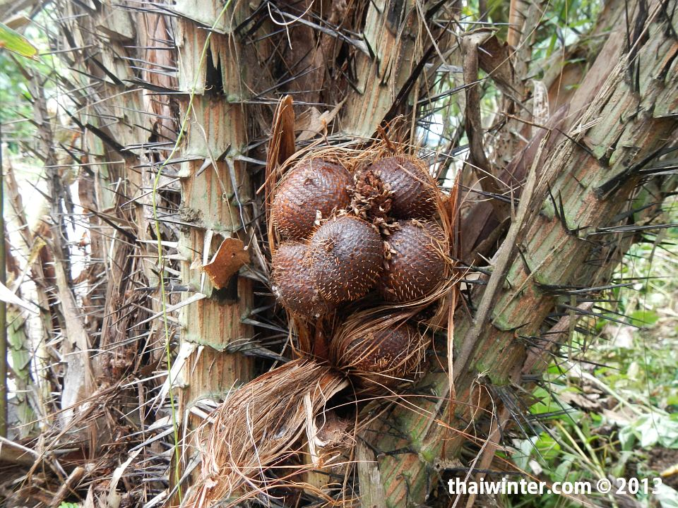 Плантации салака на Бали - как растет салак
