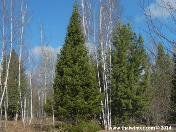 Весной в лесу.  р.п. Памяти 13 Борцов