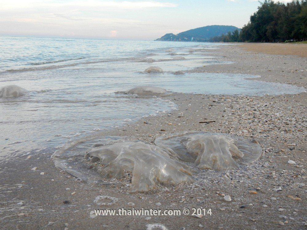 Медузы на пляжах Хуахина