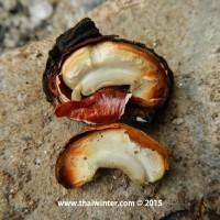 cashew_13-jpg