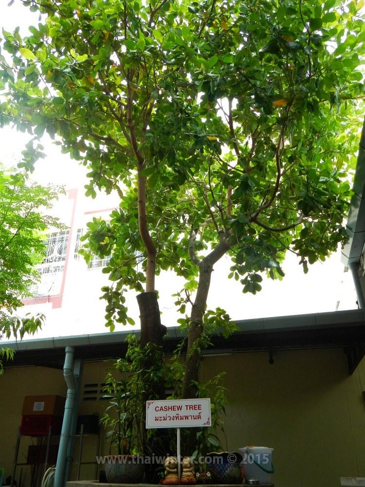 Дерево кешью | Зима в Таиланде