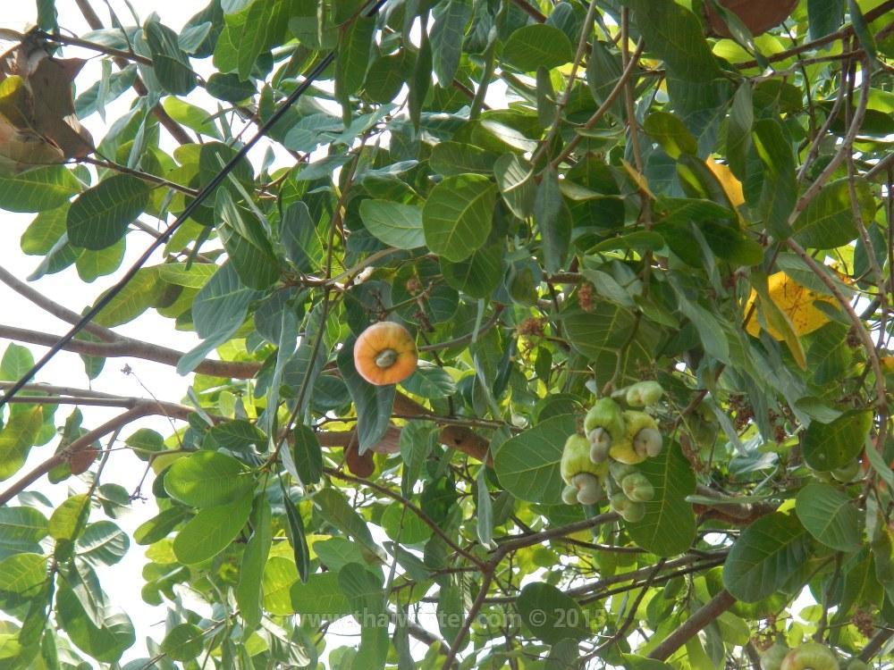 Плод кешью на дереве в Таиланде | Зима в Таиланде